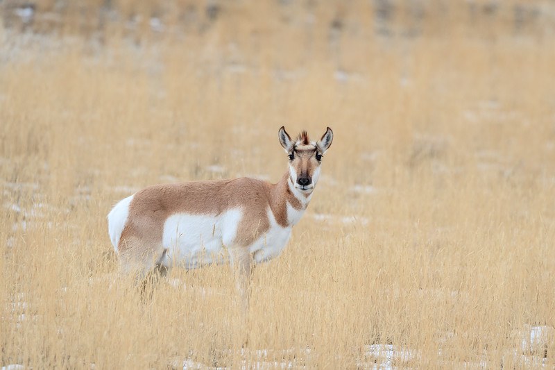 Pronghorns are the fastest North American land animal and are often found towards the northern end of the Yellowstone National park
