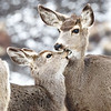 An affectionate moment between a female mule deer and her fawn