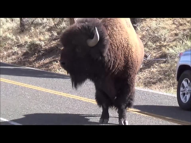An angry talking bison.  Turn up your volume. You won't believe this.