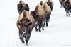 Bison Herd on Winter Road