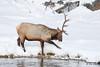 Bull Elk Foraging in Winter