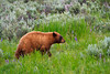 A Cinnamon Black Bear searches for bird's nests in the Lamar Valley of Yellowstone National Park.