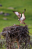 A male Osprey returns to his nest that is occupied by his mate and their two hatchlings in the Lamar Valley of Yellowstone National Park.