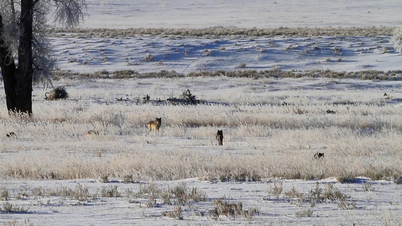 A few video segments of the Lamar Canyon Wolf Pack approaching on a cold (-9°F) December morning in the Lamar Valley of Yellowstone National Park. <br /> <br /> 1080/24P footage shot and edited by Dave M. Shumway. <br /> (For this site the footage has been compressed and reduced to 720/24P)