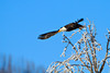 An American Bald Eagle takes off from a frosted tree in the Lamar Valley of Yellowstone National Park. Captured with a Canon 7D and 500/4.0L IS + 1.4 TC III in aperture priority mode with an exposure bias of + 2/3 at ISO200, f/7.1, and 1/800th of a second. The camera was resting on a beanbag.