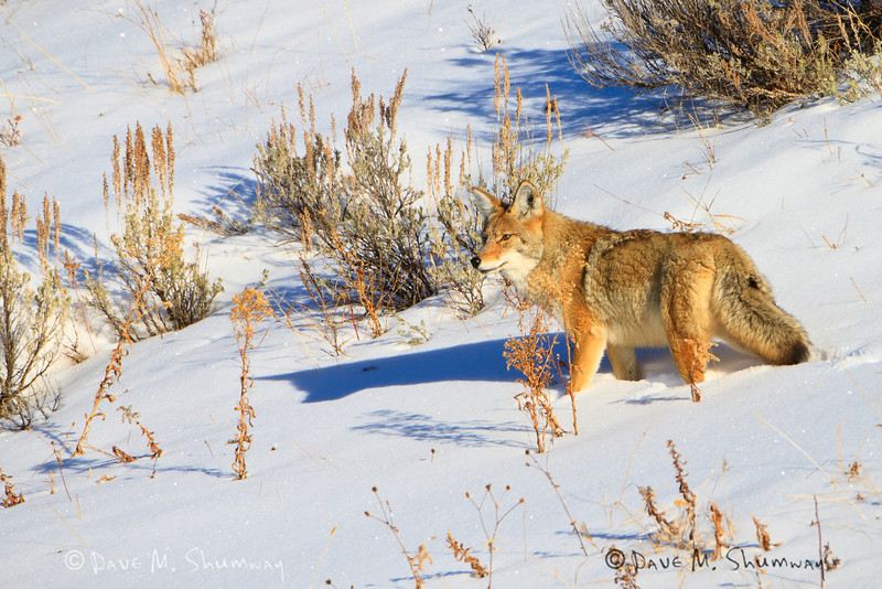 A coyote makes its way through the snow that fills the Lamar Valley of Yellowstone National Park. Captured with a Canon 7D and 500/4.0L IS + 1.4 TC III in aperture priority mode with an exposure bias of + 1 at ISO200, f/7.1, and 1/640th of a second. The camera was resting on a beanbag.