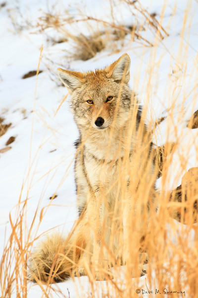 A Coyote peers through the grass down at the Lamar River in Yellowstone National Park. Captured with a Canon 7D and 500/4.0L IS in aperture priority mode with an exposure bias of + 4/3 at ISO200, f/7.1, and 1/400th of a second. The camera was resting on a beanbag.