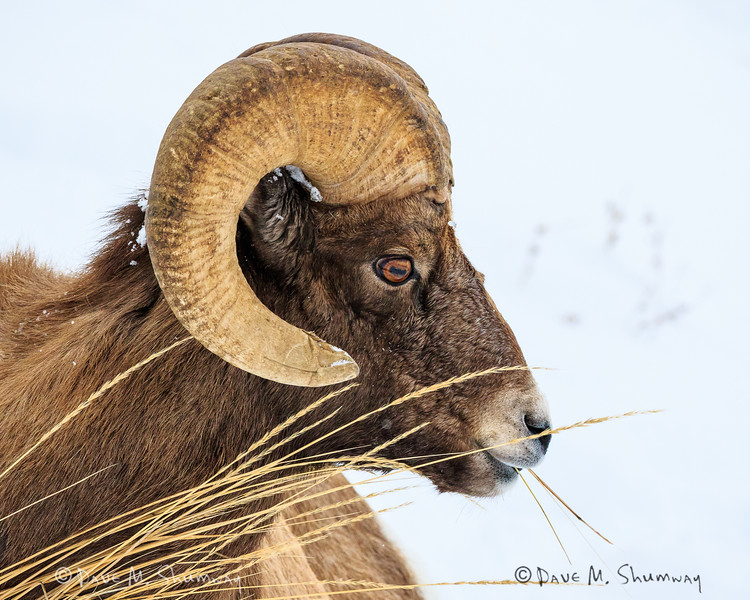 ISO1600 test shots from Canon's new 7D II<br /> A bighorn sheep feeds along a snow slope in Yellowstone National Park. Captured with a Canon 7D II and 400/2.8L IS II in aperture priority mode with an exposure bias of + 2/3 at ISO1600, f/7.1, and 1/1600th of a second. The camera was resting on a bean bag.