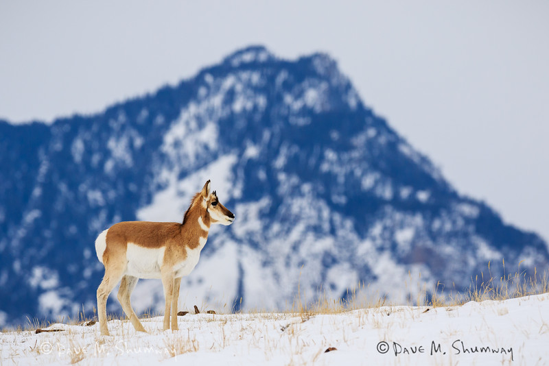 A Pronghorn Antelope feeds on a hillside with The Devil's Slide behind in Yellowstone National Park. Captured with a Canon 7D II and 400/2.8L IS II in aperture priority mode with an exposure bias of + 2/3 at ISO400, f/7.1, and 1/800th of a second. The camera was handheld.