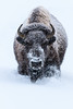A Bison makes its way through fresh snow during a storm in Yellowstone National Park. Captured with a Canon 7D II and 400/2.8L IS II in aperture priority mode with an exposure bias of + 1 at ISO400, f/7.1, and 1/125th of a second. The camera was mounted on a Gitzo 3540 XLS with an Induro GHB2 gimbal head.