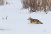 A Coyote makes its way through fresh snow in Yellowstone National Park. Captured with a Canon 7D II and 400/2.8L IS II in aperture priority mode with an exposure bias of + 1 at ISO400, f/7.1, and 1/640th of a second. The camera was handheld.
