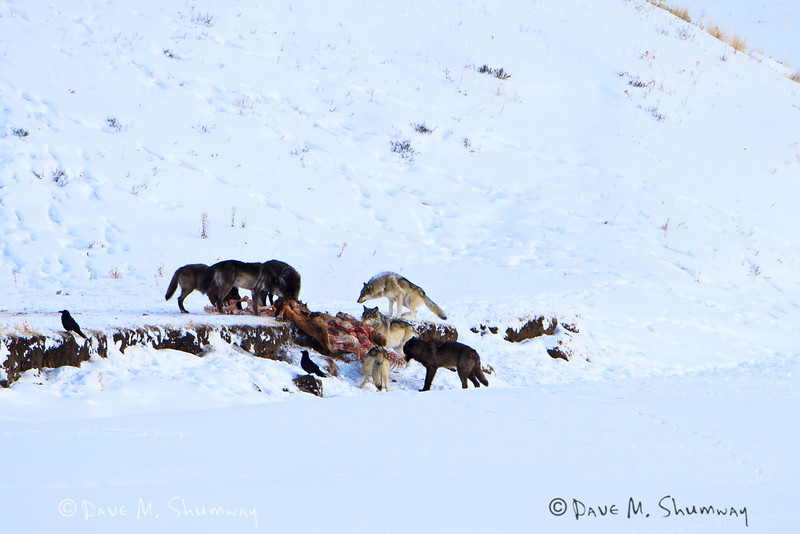 The Lamar Canyon Wolf Pack feasts on an Elk carcass along the Lamar River in Yellowstone National Park. Captured with a Canon 7D and 500/4.0L IS + 1.4TC III in aperture priority mode with an exposure bias of + 4/3 at ISO200, f/7.1, and 1/125th of a second. The camera was mounted on a Gitzo 3540XLS and Induro GHB2 gimbal head with a custom long lens support.