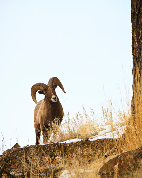 A Bighorn Sheep, ram, looks down over the cliffside along the banks of the Lamar River in Yellowstone National Park. Captured with a Canon 7D and 500/4.0L IS in aperture priority mode with an exposure bias of + 5/3 at ISO400, f/7.1, and 1/640th of a second. The camera was mounted on a Gitzo 3540XLS and Induro GHB2 gimbal head with a custom long lens support.