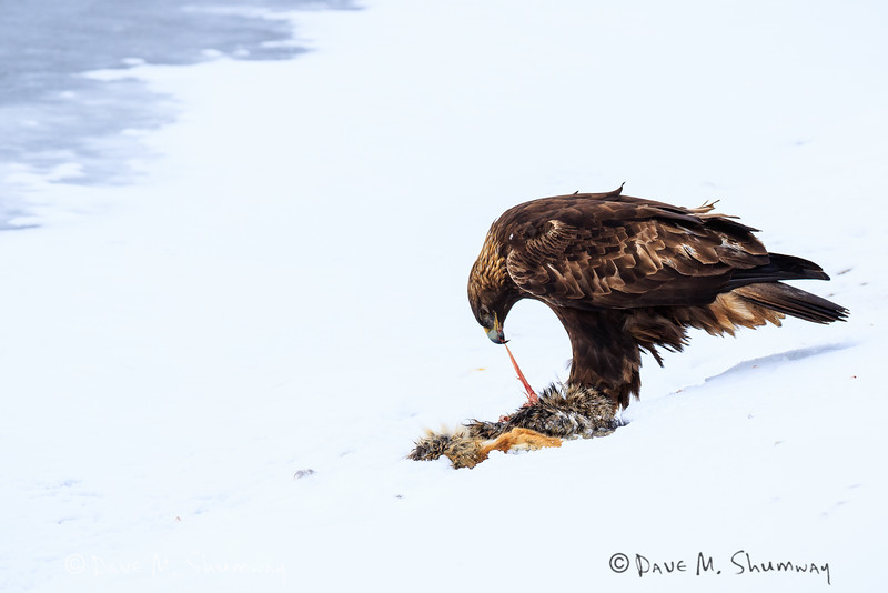 A Golde Eagle enjoys the remains of a Coyote along the banks of Soda Butte Creek in Yellowstone's Lamar River Valley. Captured with a Canon 7D II and 400/2.8L IS II in aperture priority mode with an exposure bias of + 2/3 at ISO400, f/7.1, and 1/500th of a second. The camera was handheld.