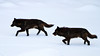 Two black wolves, members of the Mollies Pack, move through the Lamar Canyon on the frozen Lamar River in Yellowstone National Park. The pair was rejoining their siblings after a day of dancing around the Blacktail Pack. Captured with a Canon 7D and 500/4.0L IS in aperture priority mode with an exposure bias of + 2 at ISO400, f/4.0, and 1/640th of a second. The camera was handheld.
