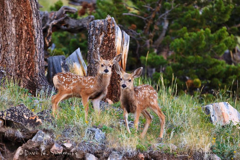 A pair of Mule Deer fawns take in their surroundings at sunrise along the Beartooth Pass.  Captured with a Canon 5DII with 70-200/2.8L IS II in aperture priority mode with an exposure bias of + 1/3 at ISO400, f/2.8, and 1/200th of a second. The camera was handheld.