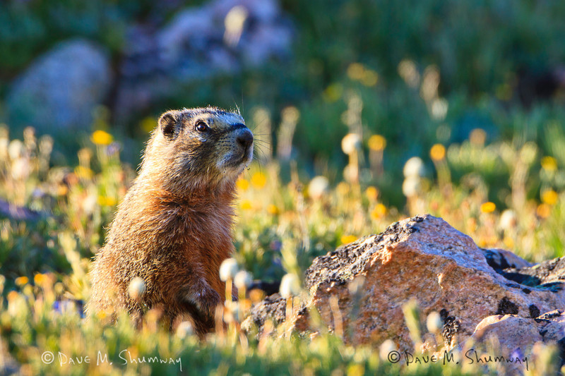 A Yellow-bellied Marmot calls to others amongst the flowers and rocks atop the Beartooth Pass. Captured with a Canon 7D with 500/4.0L IS + 1.4 TC III in aperture priority mode with an exposure bias of + 1/3 at ISO200, f/7.1, and 1/160th of a second. The camera was resting on a beanbag.