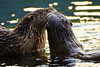 A pair of North American River Otters share a playful kiss along the shores of Trout Lake in Yellowstone National Park. Captured with a Canon 7D with 500/4.0L IS in manual mode at ISO400, f/4.0, and 1/320th of a second. The camera was mounted on a Gitzo 3540XLS and Induro GHB2 gimbal head.