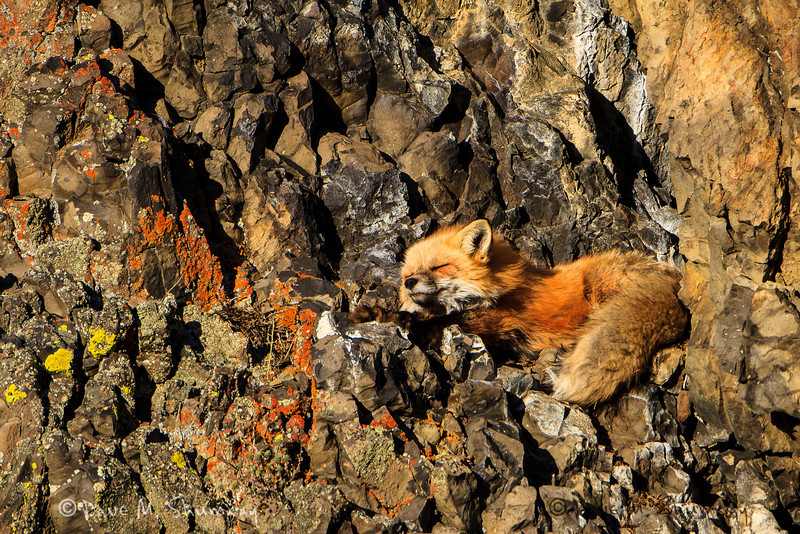 A red fox stretches out after an afternoon nap as the sun sets in Yellowstone National Park. Captured with a Canon 7D and 500/4.0L IS + 1.4TC III in aperture priority mode with an exposure bias of 0 at ISO200, f/7.1, and 1/500th of a second. The camera was mounted on a Gitzo 3540XLS and Induro GHB2 gimbal head with a custom long lens support.
