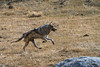 A grey wolf member of the Agate packs runs towards the Blacktail pack along Specimen Ridge in Yellowstone National Park. Captured with a Canon 7D and 500/4.0L IS in aperture priority mode with an exposure bias of - 2/3 at ISO400, f/7.1, and 1/2500th of a second. The camera was resting on a beanbag.
