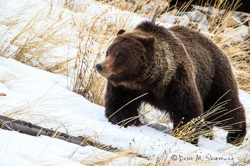 A grizzly wonders along a hillside near Silver Gate, Montana. Captured with a Canon 7D and 500/4.0L IS in aperture priority mode with an exposure bias of + 1 at ISO400, f/7.1, and 1/500th of a second. The camera was resting on a beanbag.