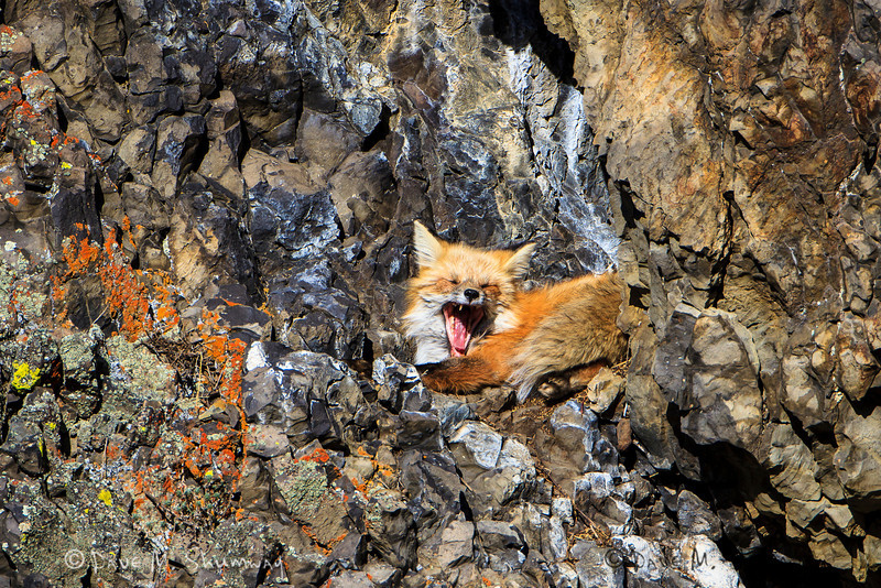 A red fox yawns on a warm afternoon as it stirs from a nap in Yellowstone National Park. Captured with a Canon 7D and 500/4.0L IS + 1.4TC III in aperture priority mode with an exposure bias of + 1/3 at ISO200, f/7.1, and 1/640th of a second. The camera was mounted on a Gitzo 3540XLS and Induro GHB2 gimbal head with a custom long lens support.
