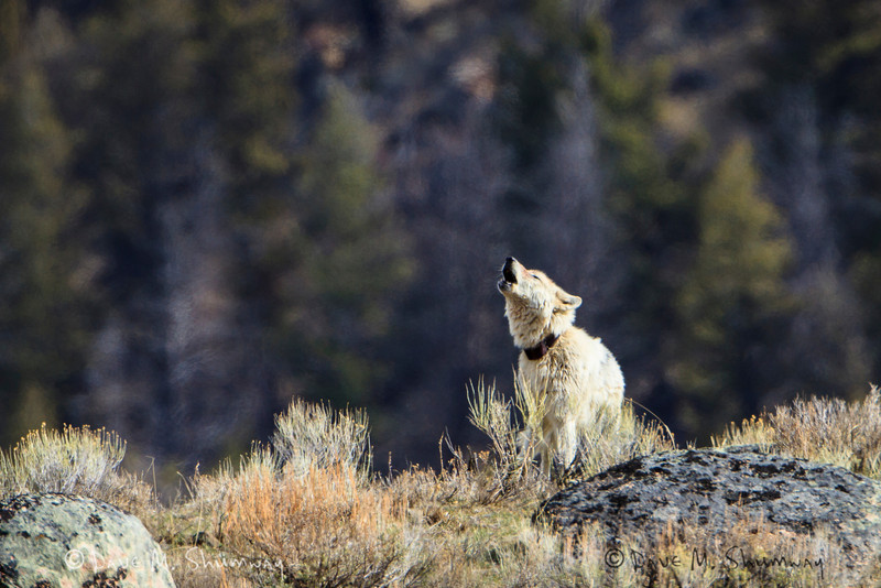 Wolf 471F howls at the surrounding Agate and Blacktail packs along Specimen Ridge in Yellowstone National Park. Captured with a Canon 7D and 500/4.0L IS + 1.4TC III in aperture priority mode with an exposure bias of 0 at ISO200, f/7.1, and 1/500th of a second. The camera was mounted on a Gitzo 3540XLS and Induro GHB2 gimbal head with a custom long lens support. <br /> This wolf, 471F, was killed by the members of the Mollies Pack about a week after I captured these images.