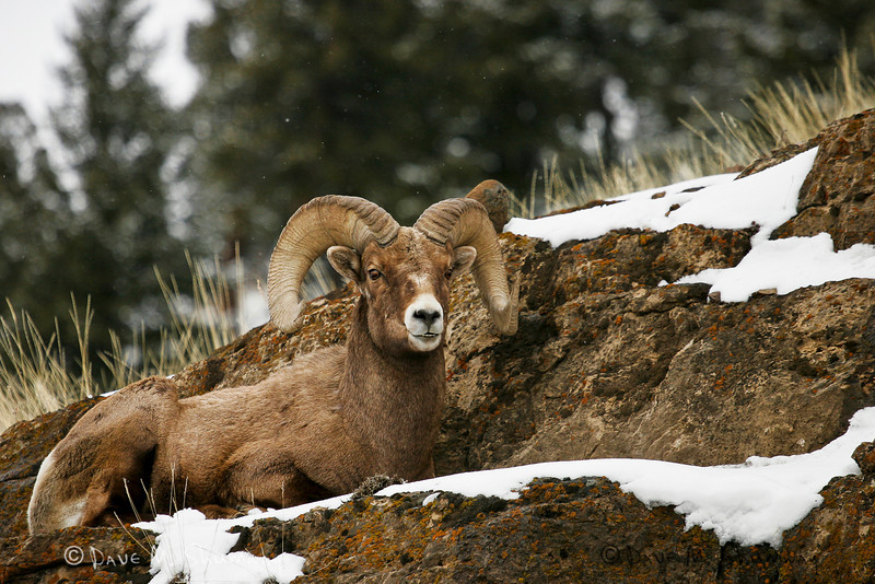 A bighorn ram rests on the cliffs above Lamar Valley as a spring snow storm moves through Yellowstone National Park. Captured with a Canon 20D and 70-200/4.0L in aperture priority mode with an exposure bias of - 1/3 at ISO200, f/4.0, and 1/3200th of a second. The camera was hand held.