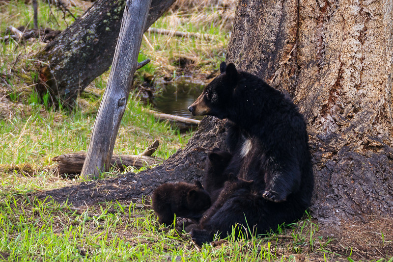 A black bear sow nurses her triplet cubs of the year on a May evening in Yellowstone National Park. Captured with a Canon 7D and 400/2.8L IS II and 2.0 TC III in aperture priority mode with an exposure bias of 0 at ISO400, f/6.3, and 1/80th of a second. The camera was mounted on a Gitzo 3540 XLS with an Induro GHB2 gimbal head.