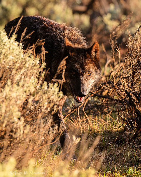 A wolf makes her way through the sage brush shortly after sunrise, on a warm spring morning in Yellowstone National Park. Captured with a Canon 7D and 400/2.8L IS II in aperture priority mode with an exposure bias of 0 at ISO400, f/4.5, and 1/320th of a second. The camera was hand held.