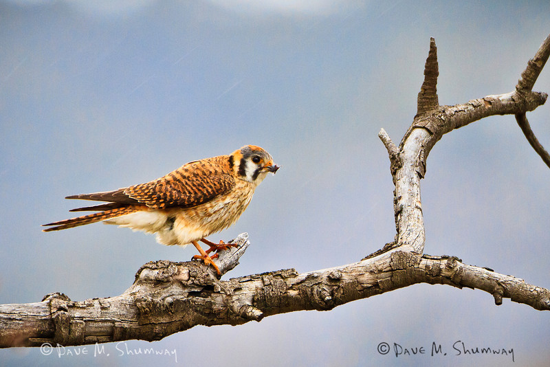 A female American Kestrel keeps a look out on a rainy/snow day in May near Specimen Ridge in Yellowstone National Park. Captured with a Canon 7D with 500/4.0L IS in aperture priority mode with an exposure bias of +1 at ISO800, f/4.0, and 1/160th of a second. The camera was mounted resting on a beanbag.