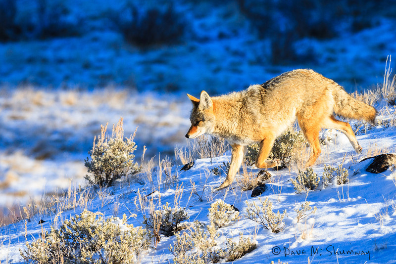 A coyote moves through the sage at sunrise near Blacktail Lakes, in Yellowstone National Park. Captured with a Canon 7D and 400/2.8L IS II in aperture priority mode with an exposure bias of + 1 at ISO400, f/7.1, and 1/640th of a second. The camera was handheld.
