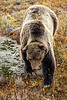 "A boar grizzly bear, often referred to as No.211 a.k.a. Scarface, approaches, in Yellowstone National Park. ""Scarface"" is 25 years old, and one of the most captured/studied bears in the world...this Fall he does not look in good health and it is widely believed that he will not be alive by this time next year. Created with a Canon 7D II and 400/2.8L IS II in aperture priority mode with an exposure bias of 0 at ISO320, f/2.8, and 1/800th of a second. The camera handheld."