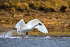 A trumpeter swan takes off from the Yellowstone River in late October. Captured with a Canon 7D and 500/4.0L IS + 1.4 TC III in aperture priority mode with an exposure bias of + 1/3 at ISO800, f/5.6, and 1/2500th of a second. The camera was mounted on a Gitzo 3540XLS tripod and Induro GBH2 head with a custom long lens support (the tripod was not fully set up).