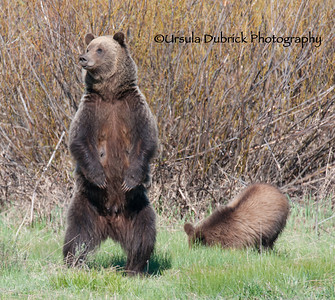 Grizzly mom looking for her other cubs