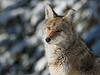 Coyote Stare Down - Yellowstone National Park