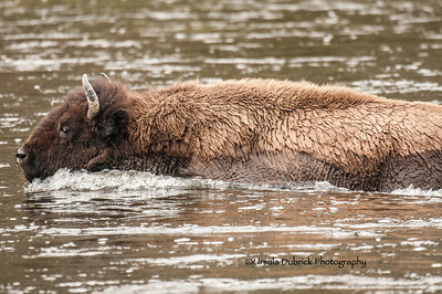 Bison - Swimming across the river