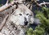 Gray Wolf  - Yellowstone