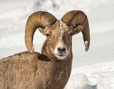 Bighorn Sheep Portrait - Yellowstone National Park