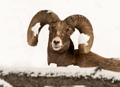 Snow on the horns - Bighorn Sheep in Yellowstone National Park