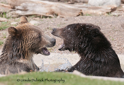 Grizzly Cubs in a Water Fight - Photo taken at the Grizzly and Wolf Discovery Center