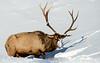 Bull elk - Yellowstone National Park