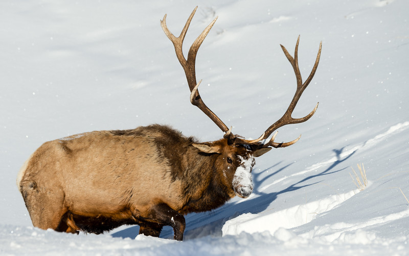 Bull elk - Yellowstone National Park