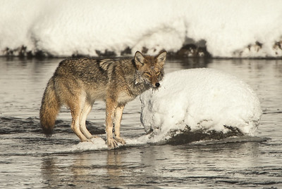 Hunting in the River - Yellowstone National Park