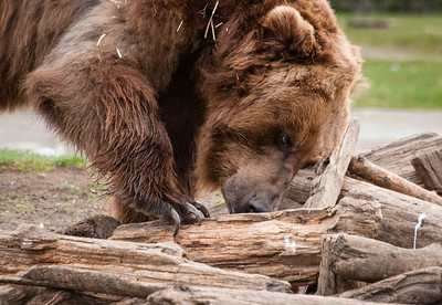 Grizzly looking for food -  Grizzly and Wolf Discovery Center - West Yellowstone