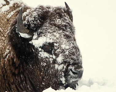 Bison - Survival in Winter