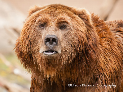 Grizzly Portrait - Photo taken at the Grizzly and Wolf Discovery Center