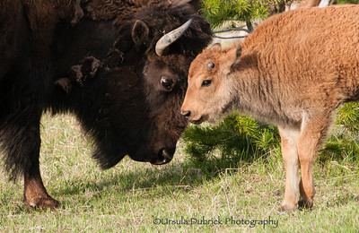 Bison - Seeing eye to eye - Mom & Baby