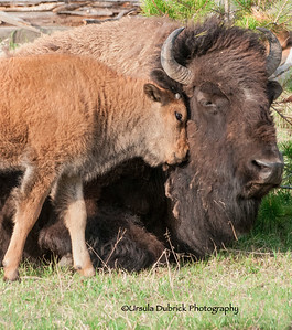 Bison - Nuzzling Mom