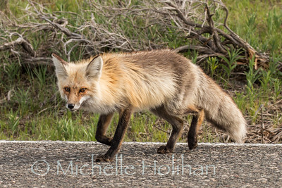 Roadside red fox